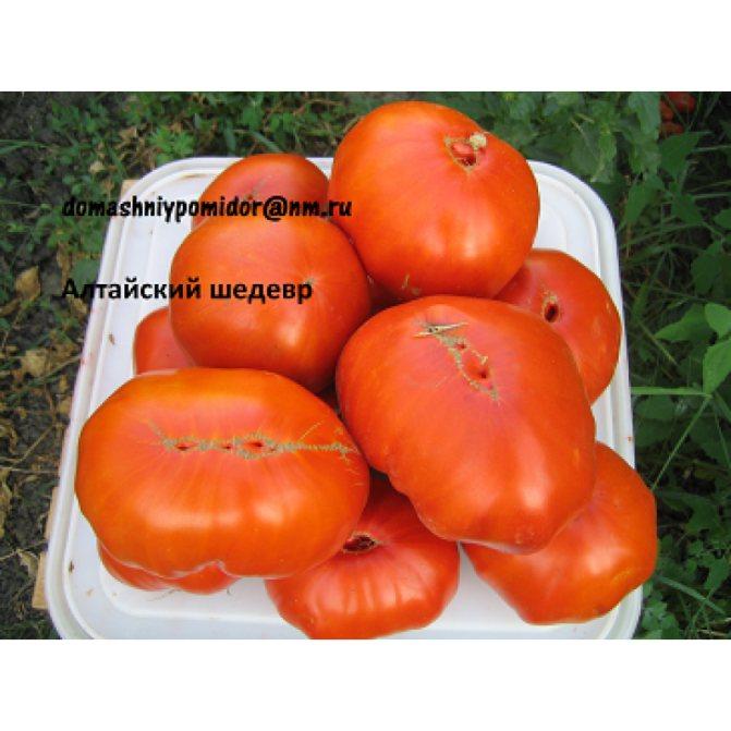 Уникальный томат для суровых условий: алтайский шедевр русский фермер