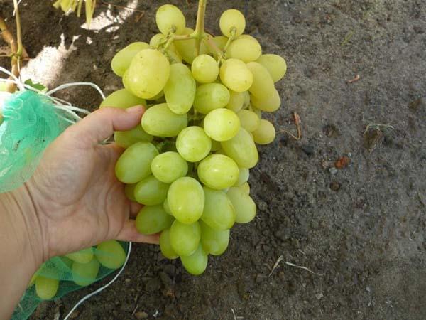 Как вырастить виноград рошфор: описание сорта, правила посадки и ухода