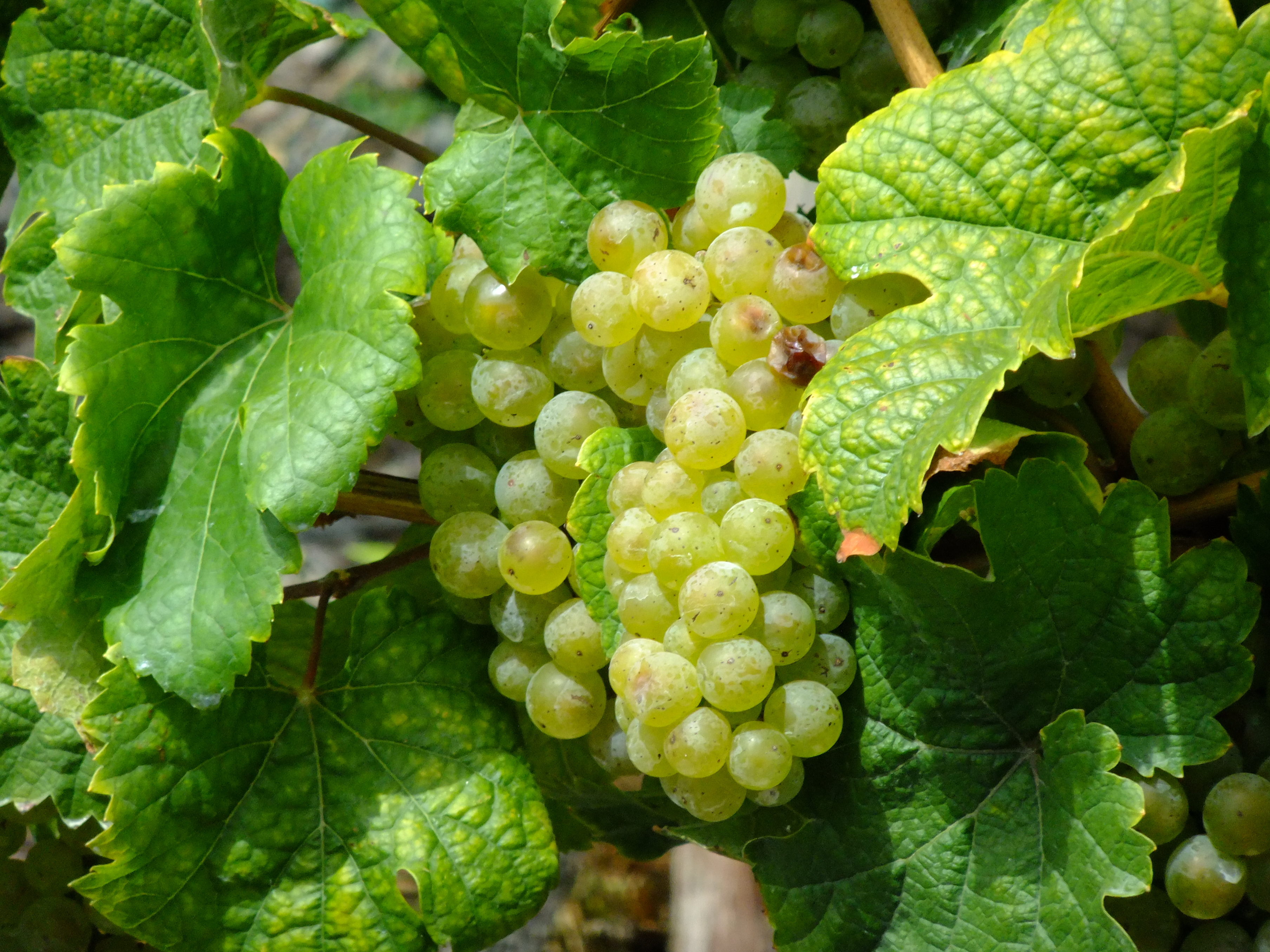Рислинг: описание белого сорта винограда, характеристики, стилистика вина