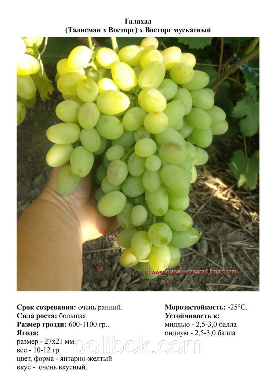 Сорт винограда «галахид»