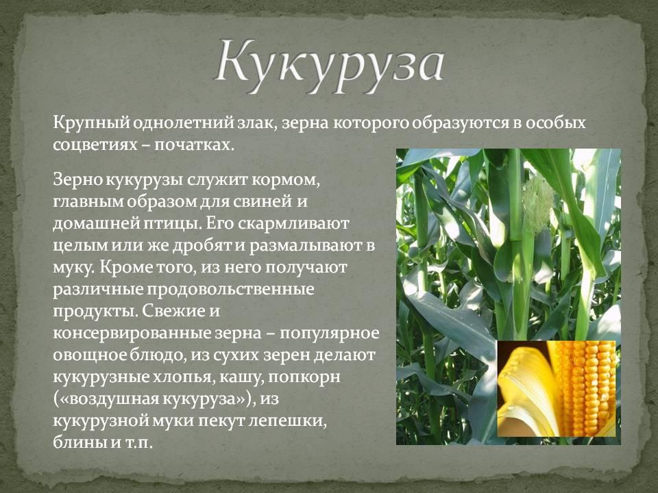 Кукуруза - это овощ, фрукт или злак? описание растения, сорта, польза и вред