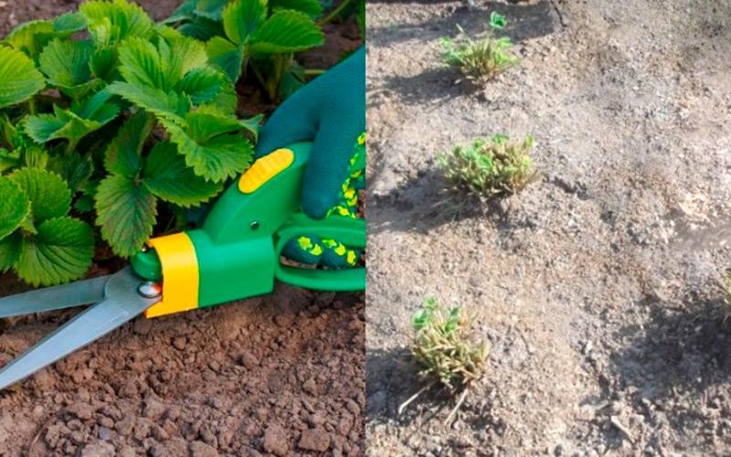 Когда обрезать клубнику после сбора урожая: сроки и правила