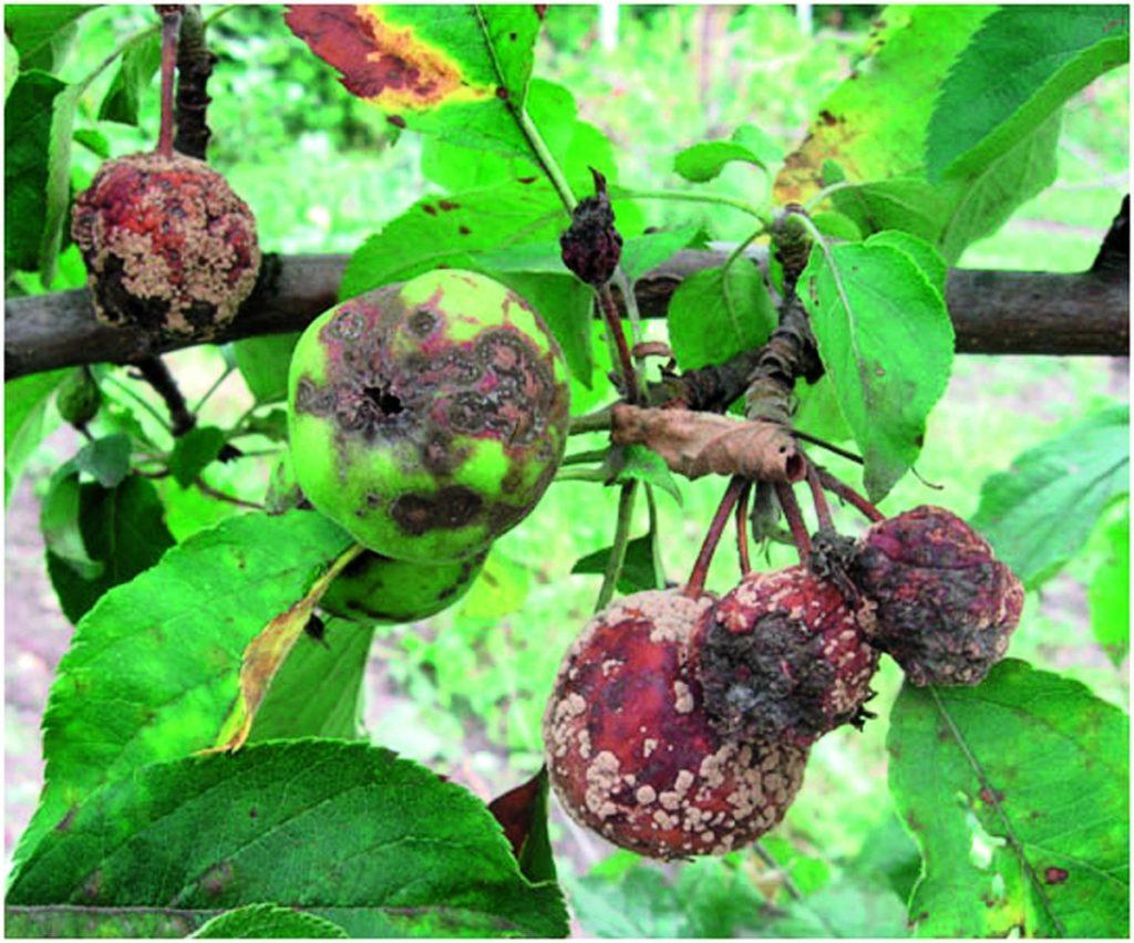 Черный рак плодовых культур