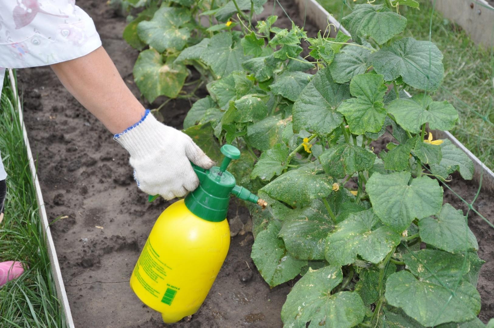 Подкормка капусты после посадки в открытый грунт: чем можно удобрять для роста высаженный ранний овощ, первый раз и далее поэтапно, а также после заморозков?