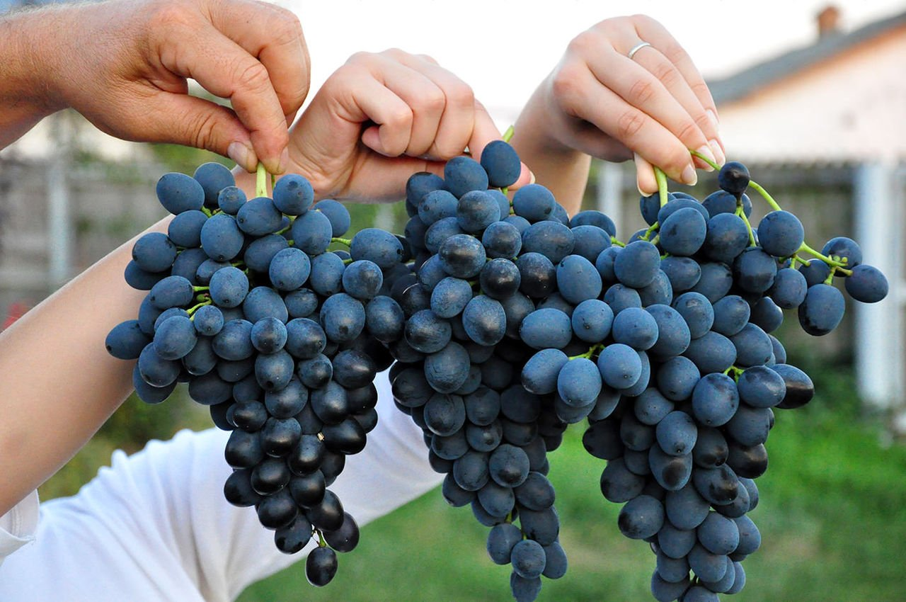 """Сорт винограда """"молдова"""": описание и характеристика, преимущества и недостатки, советы по посадке и уходу"""