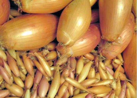Бамбергер: описание сорта лука, отзывы и характеристика
