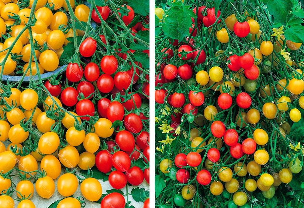 Описание среднеспелого томата Чили и рекомендации по выращиванию помидоров