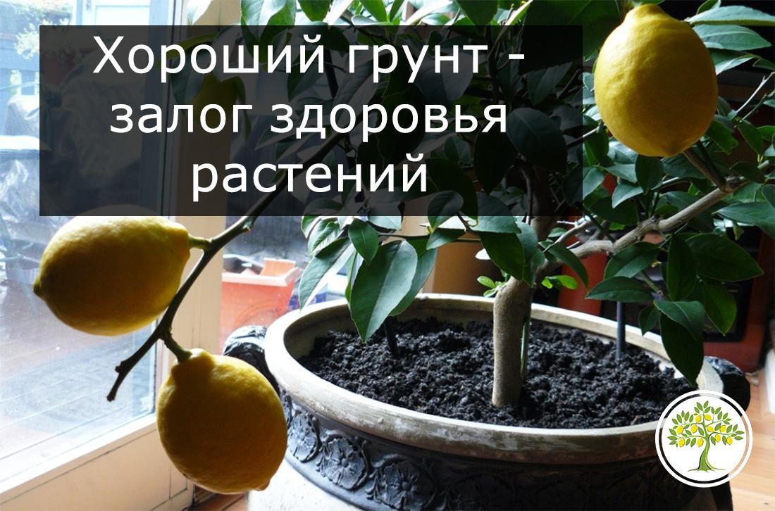 Как и когда пересадить лимон в домашних условиях, пошаговая инструкция пересадки