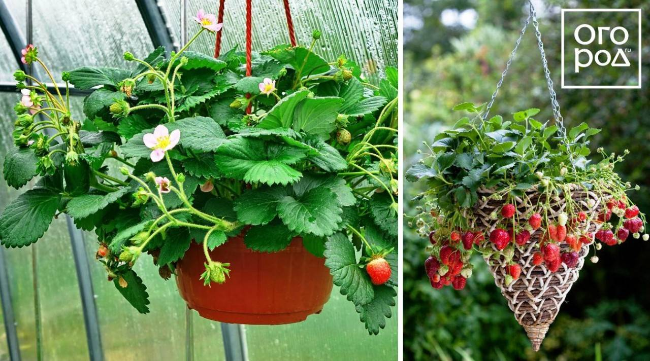 Описание и как правильно посадить клубнику сорта гирлянда