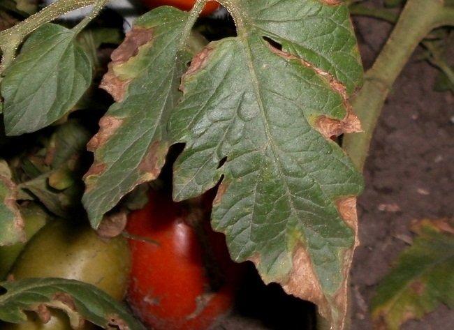 Коричневая сухая пятнистость на листьях помидор — что это и как лечить