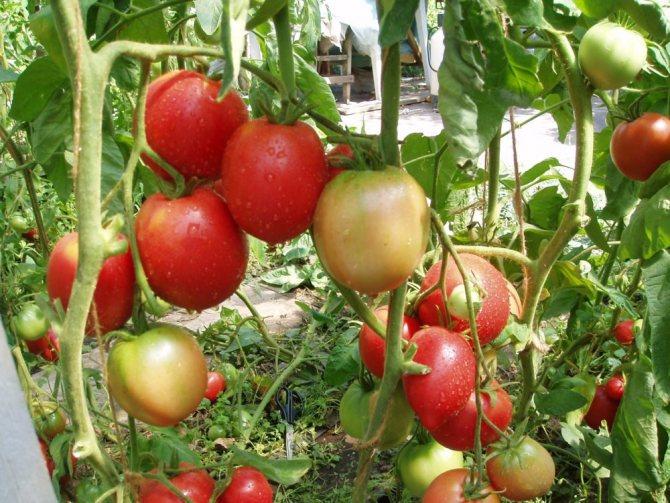 Томат гордость сибири: описание сорта, отзывы, фото | tomatland.ru