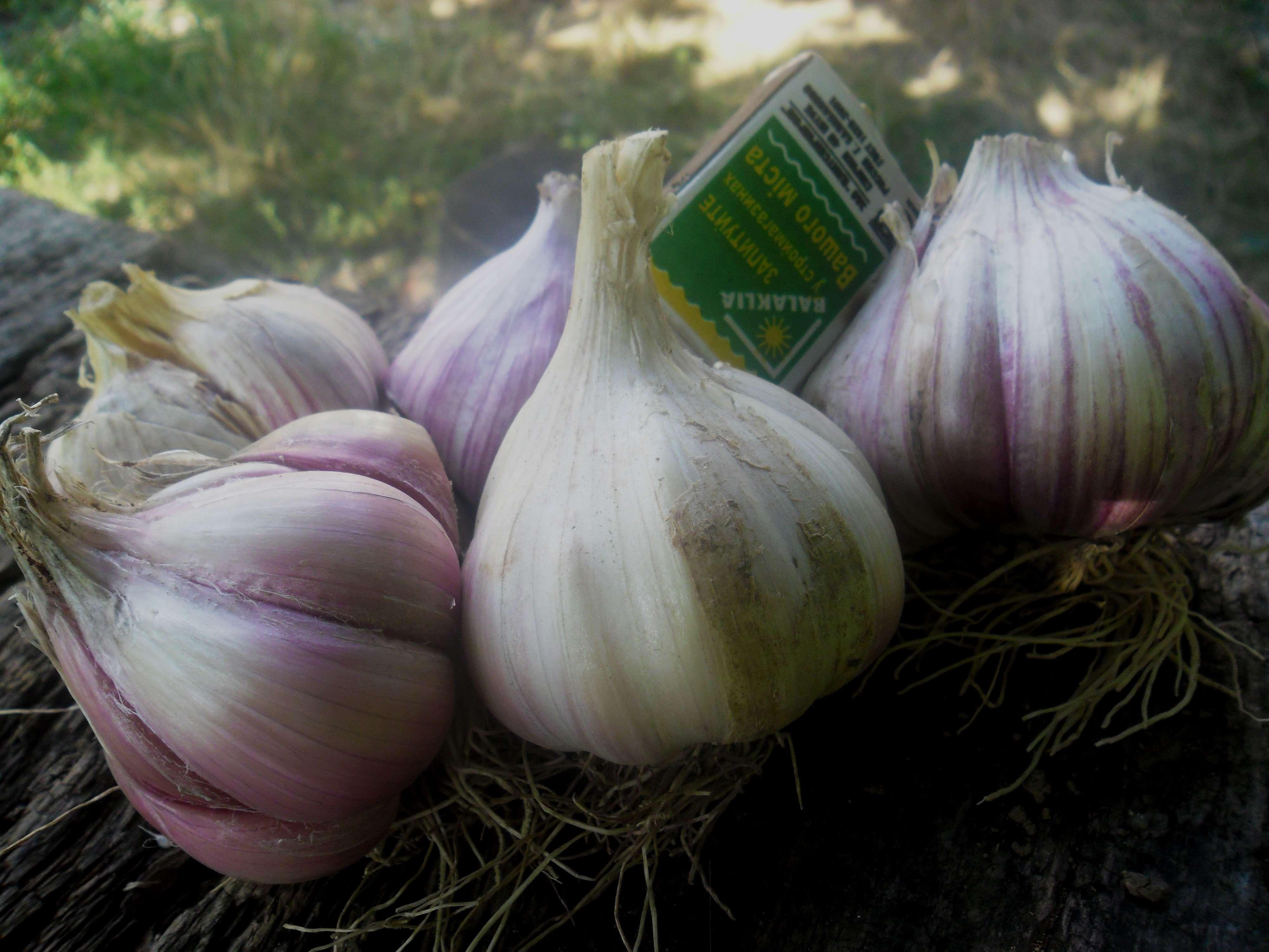 Описание сорта Софиевского чеснока, выращивание и урожайность