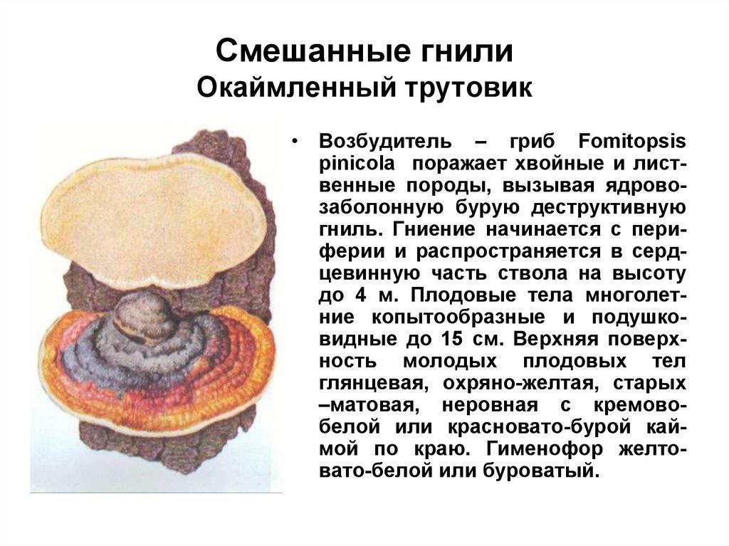 Гриб трутовик настоящий — фото и описание