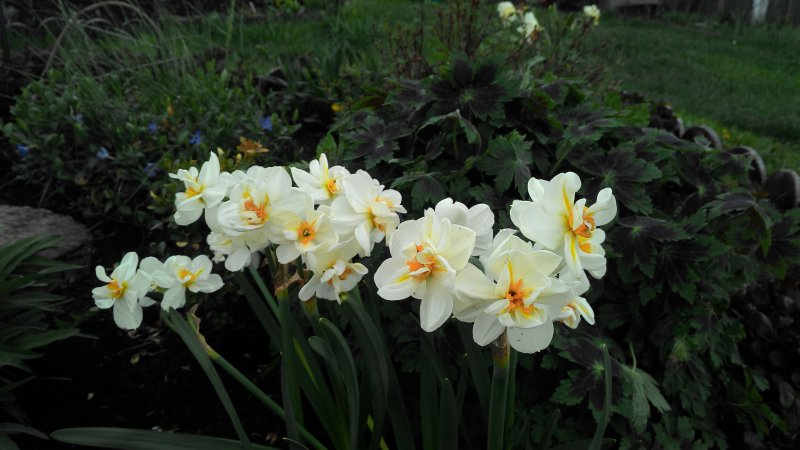 Нарцисс чирфулнесс: описание подвидов сорта, посадка, выращивание и уход с фото