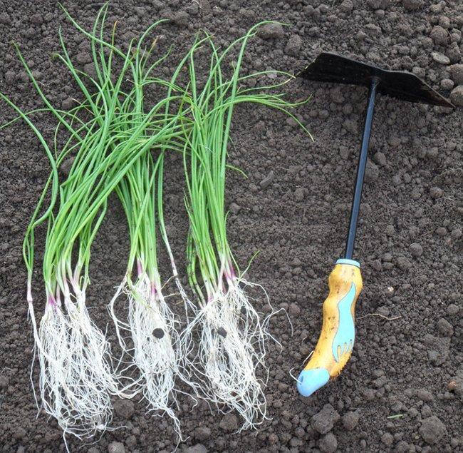 Когда сеять (сажать) лук эксибишен в 2021 году? выращивание лука из семян на рассаду