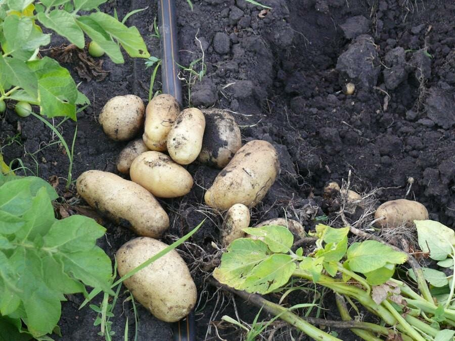 """Картофель импала - описание сорта, фото, отзывы, посадка и уход - журнал """"совхозик"""""""