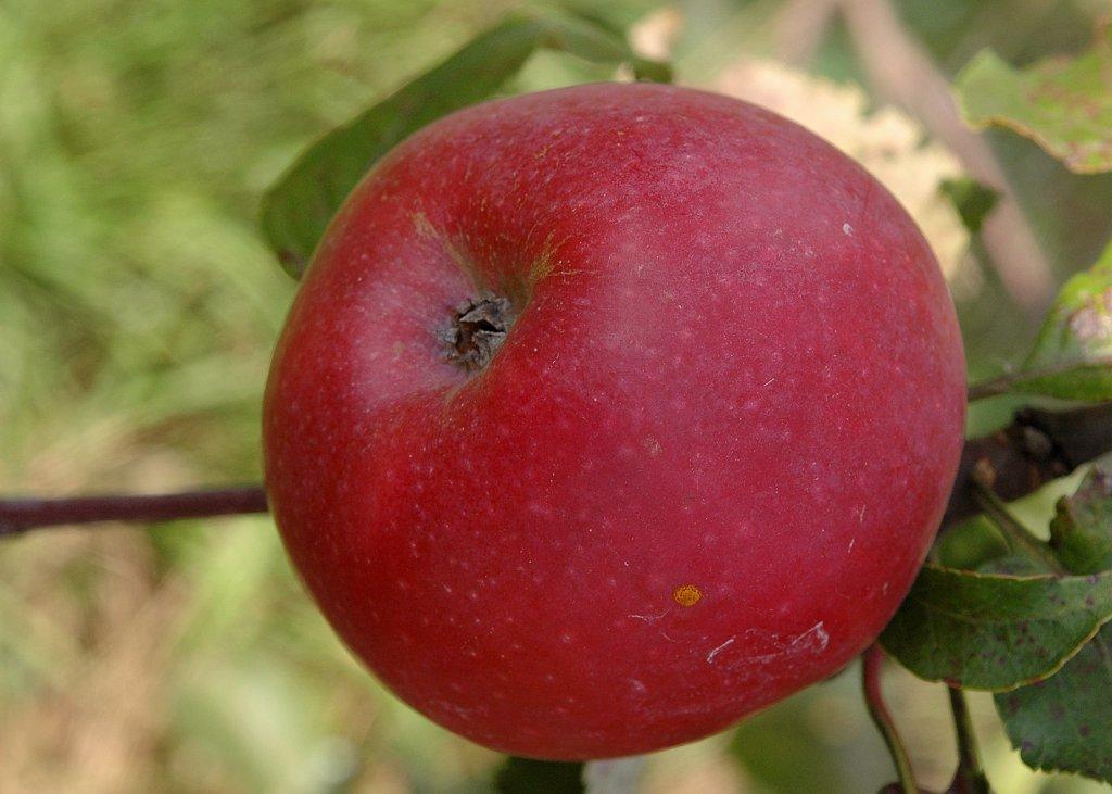 Яблоня коваленковское: описание, фото и отзывы