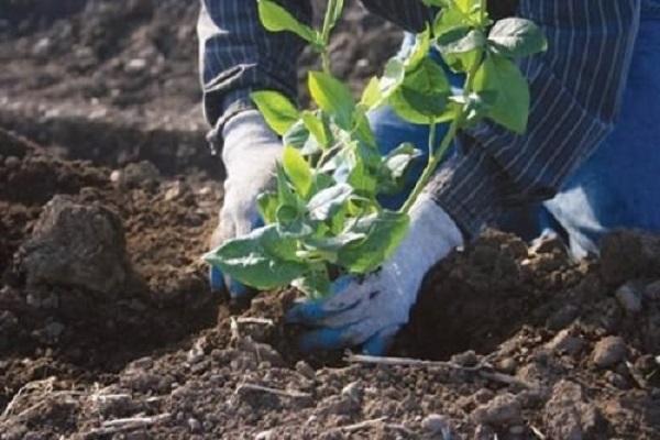 """Когда подкислять почву для голубики? - журнал """"совхозик"""""""