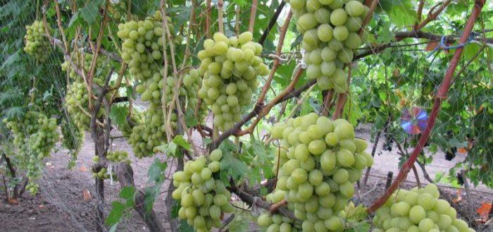 Виноград валек: особенности выращивания и ухода - ягоды   описание, советы, отзывы, фото и видео