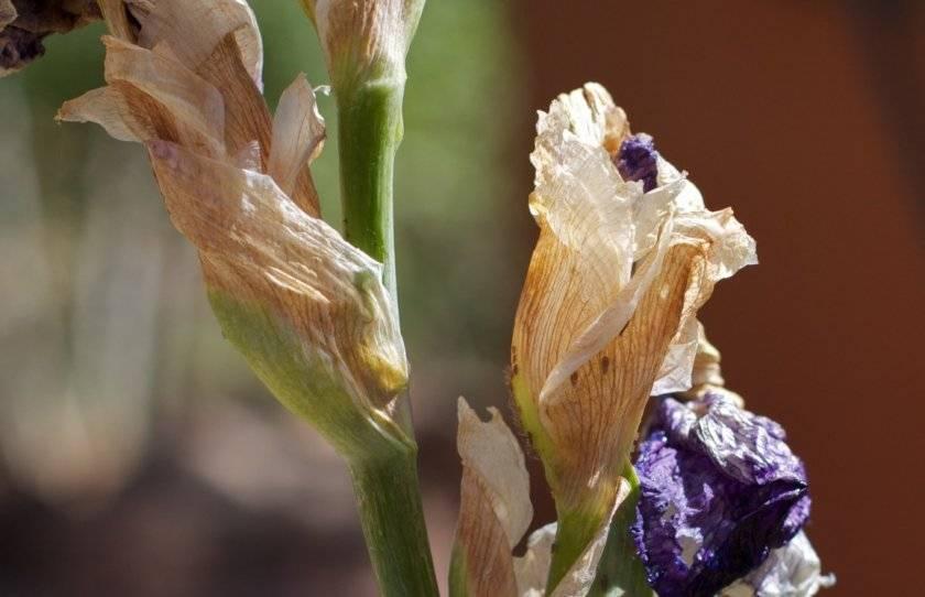 Почему не цветут гладиолусы