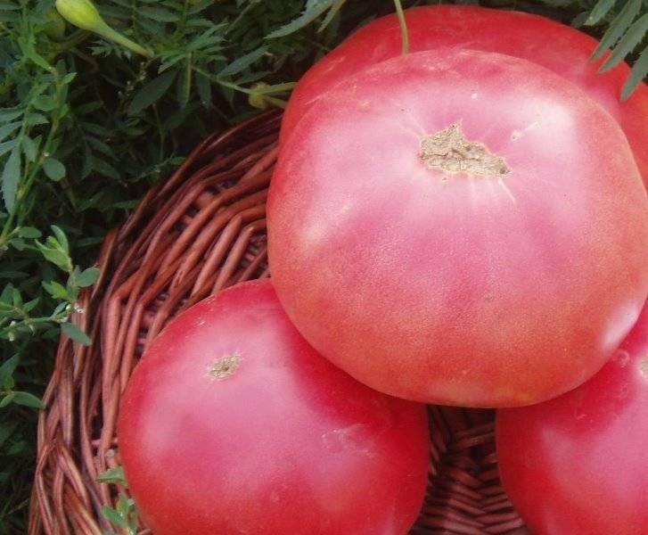 """Как вырастить помидоры сорта """"розовый слон"""""""