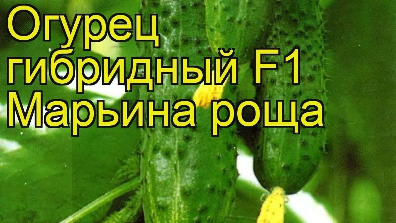 Описание сорта огурцов марьина роща