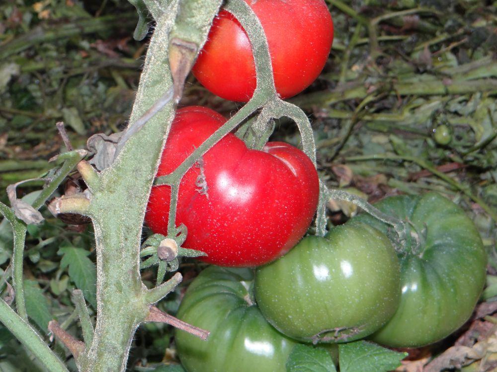 Томат сорта хлебосольный: описание, преимущества, основные правила выращивания