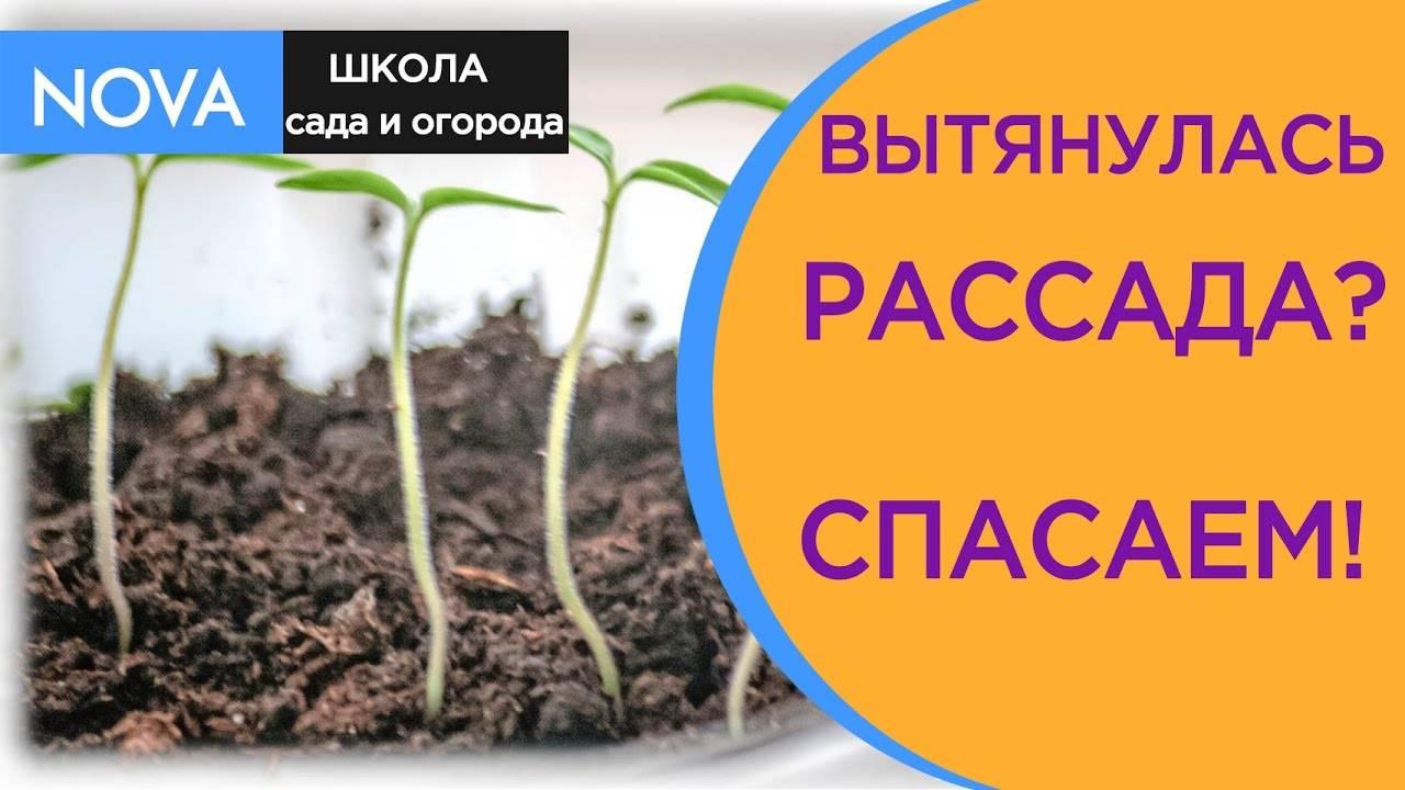 Пикировка томатов – когда и как правильно рассаживать рассаду, по лунному календарю, пошаговое фото