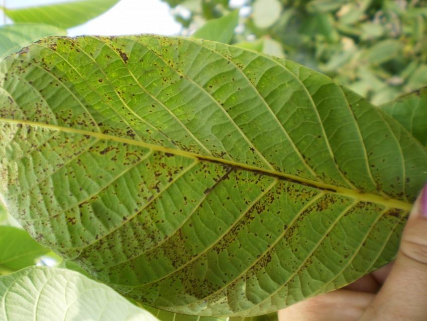 Борьба с болезнями и вредителями — линард — сортовые саженцы орехов