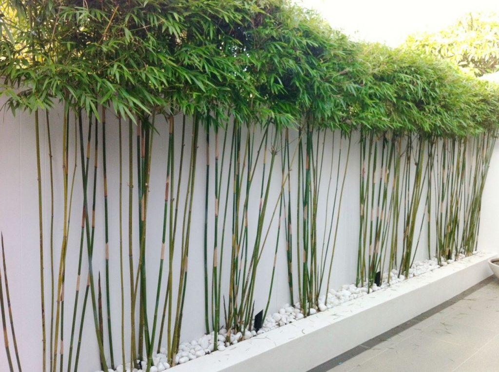 Декоративный бамбук можно ли сажать в подмосковье и как справится с зимовкой / асиенда.ру