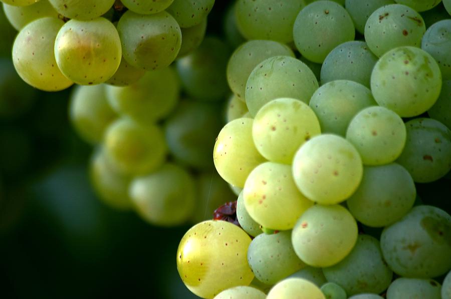 Девичий виноград