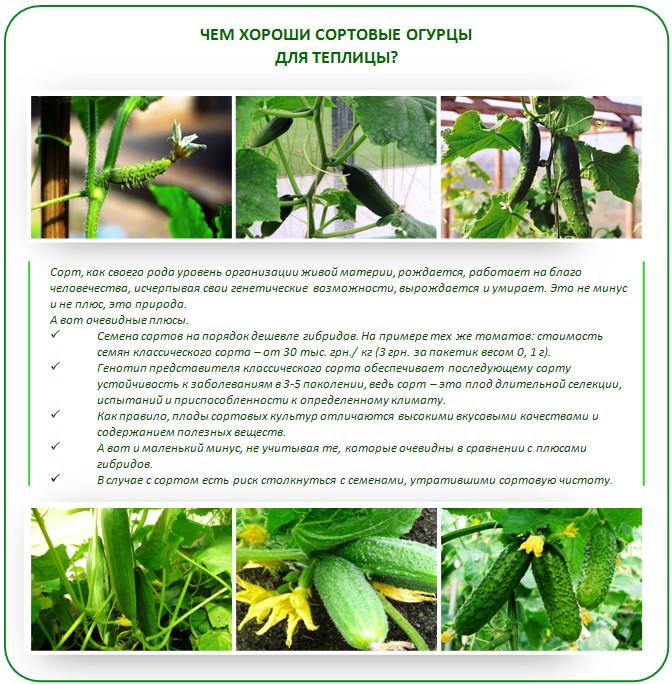 Урожайные огурцы для открытого грунта: самоопыляемые сорта, фото