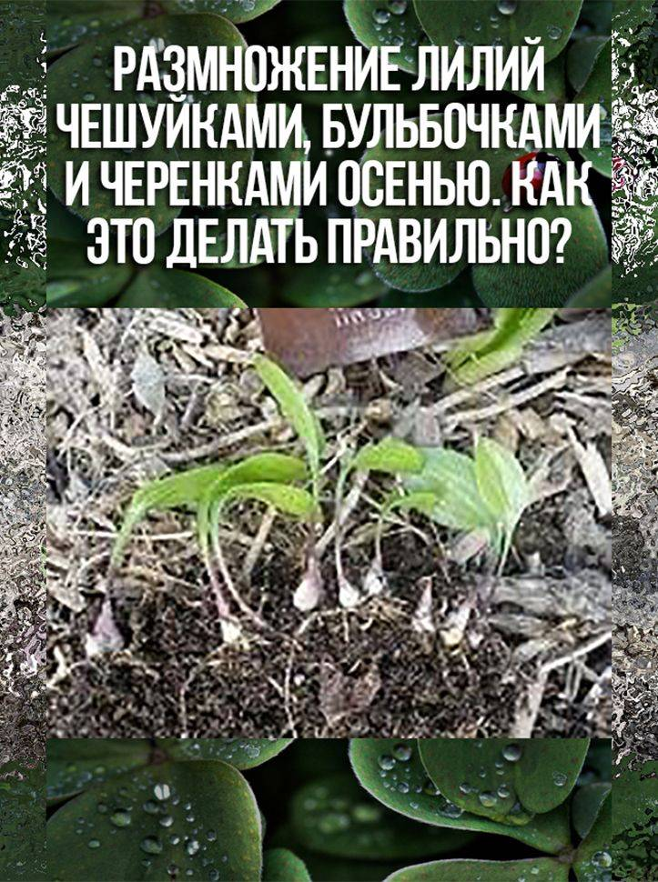Размножение лилий осенью: чешуйками, бульбочками, детками, видео, сроки, способы, правила
