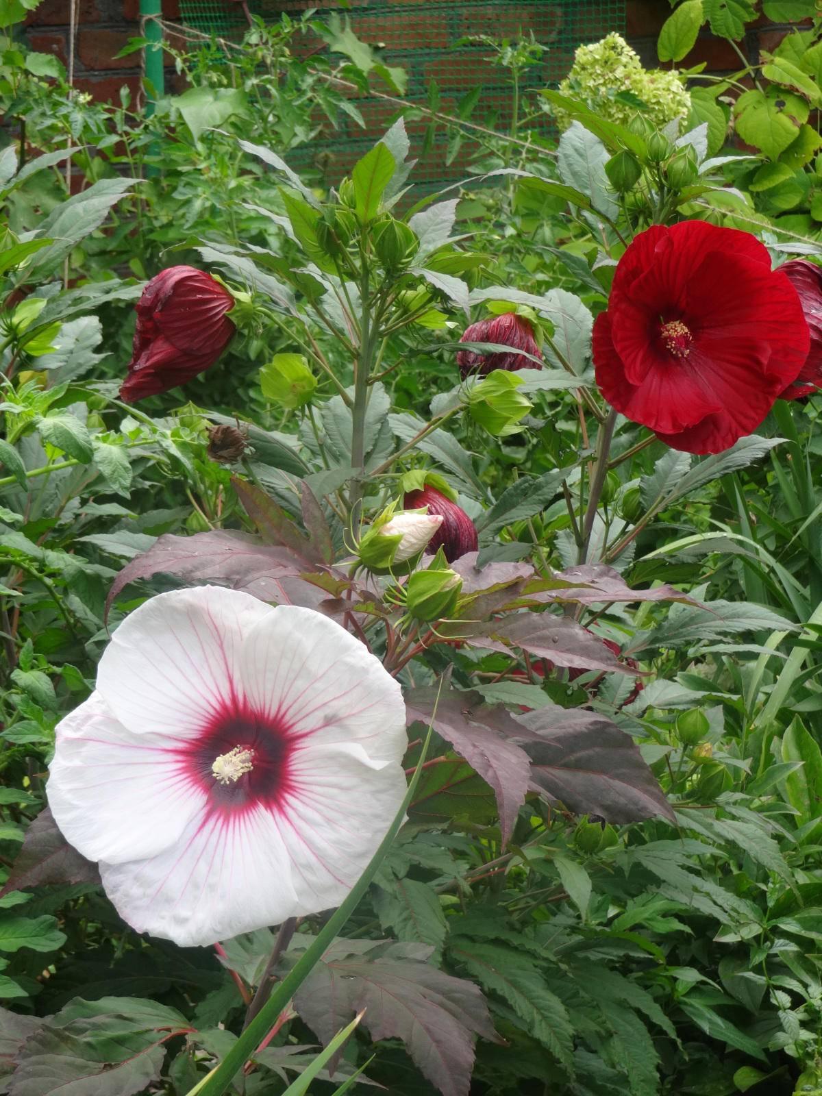 Гибискус болотный (23 фото): выращивание extreme magenta из семян в домашних условиях, посадка и уход в открытом грунте