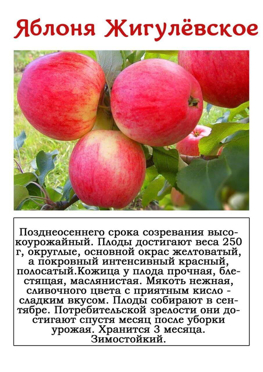 Описание и характеристика отечественного сорта яблони беркутовское