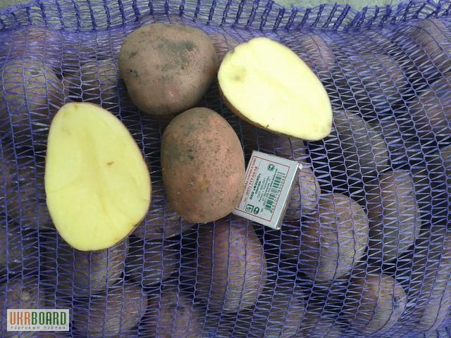 ᐉ сорт картофеля «лабелла» – описание и фото - roza-zanoza.ru
