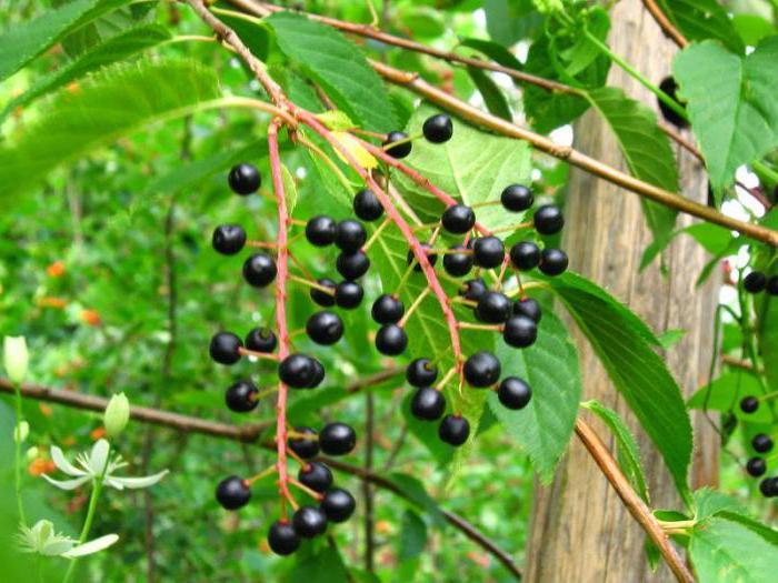 Гибрид черёмухи и вишни: виды, описание, правила выращивания, лучшие сорта, фото, видео