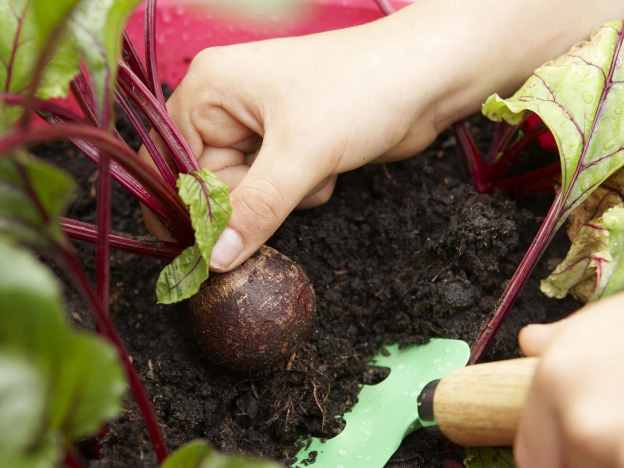 Когда убирать урожай редьки дайкона с грядки на хранение на зиму