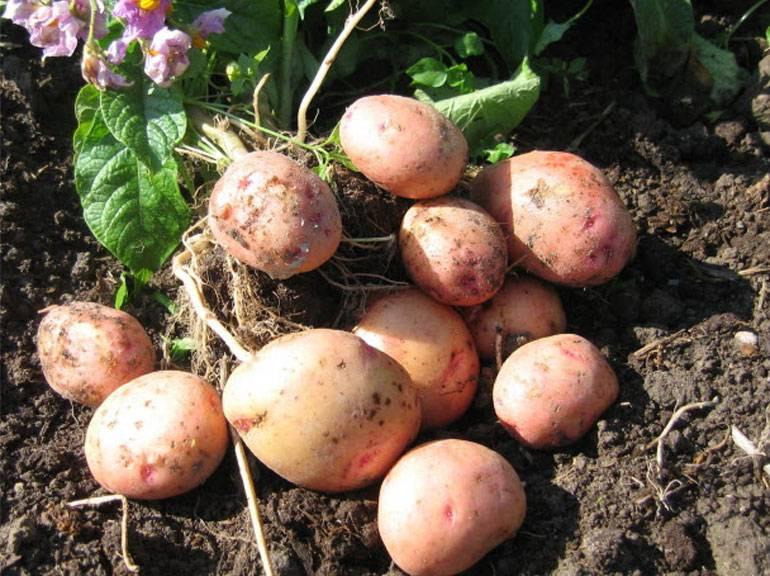 """Картофель """"жуковский ранний"""": описание сорта, фото, отзывы"""