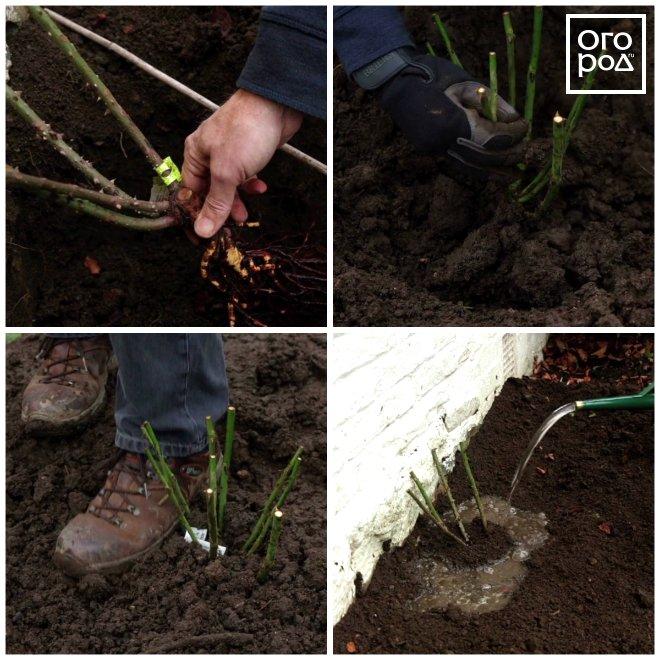 Выращивание садовых роз в открытом грунте: правила ухода, видео обрезки и формирования, фото размножения цветов