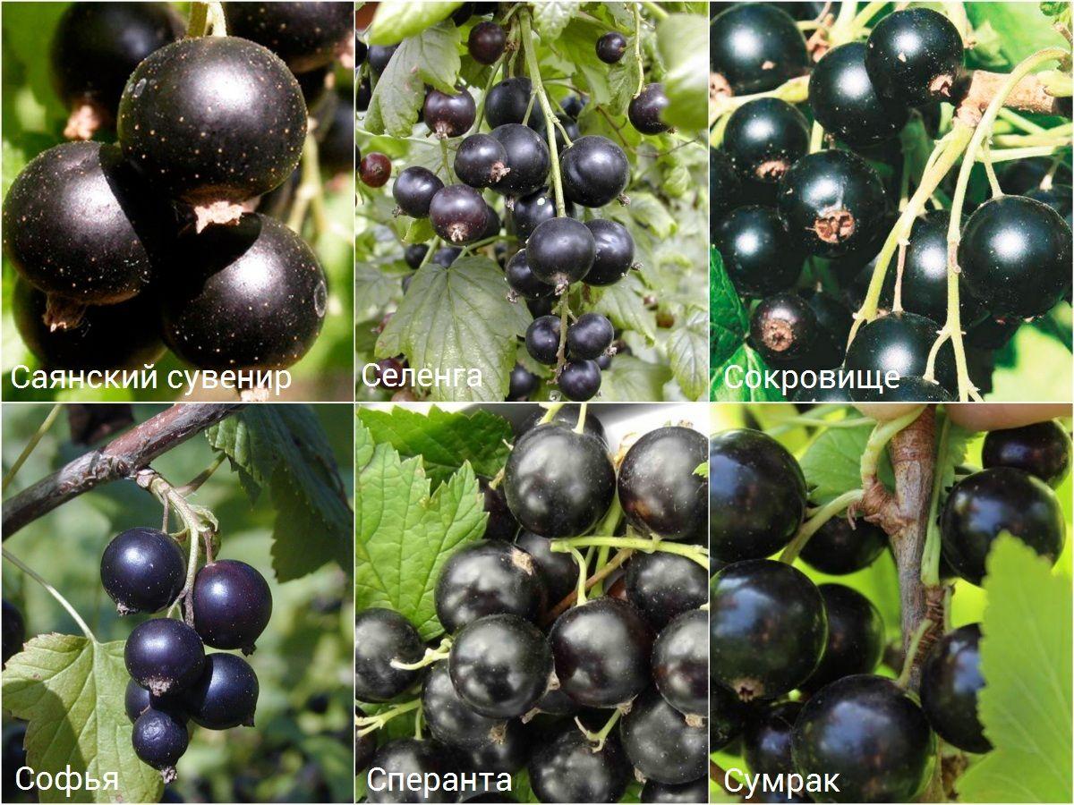 Лучшие сорта крупной и сладкой чёрной смородины по регионам