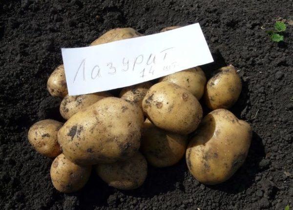 Картофель уладар описание сорта и особенности выращивания - всё о землеводстве