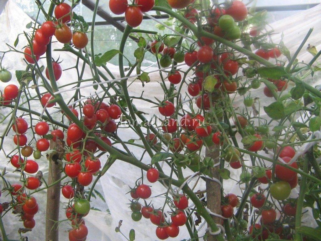 Вкусное украшение теплицы — томат «финик желтый»: описание сорта помидоры, особенности ухода