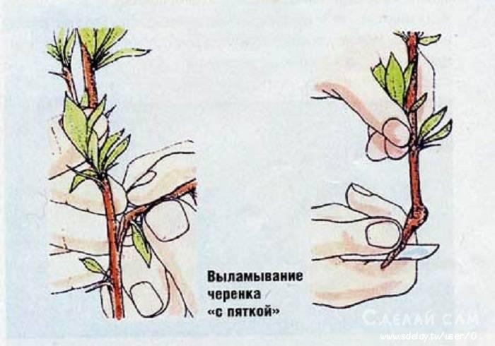 Как размножить сливу