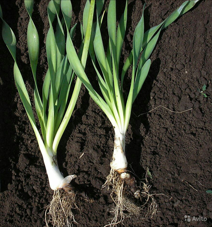 Лук-слизун выращивание и уход, фото и сорта с описанием