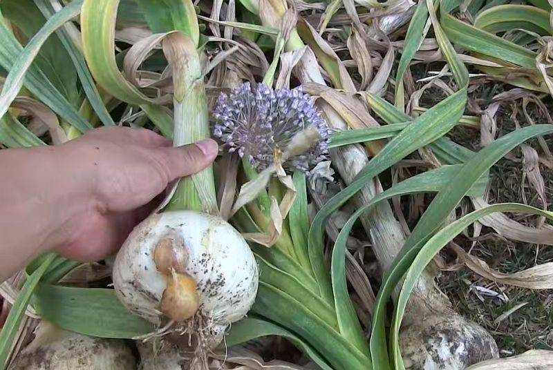 Рокамболь чеснок: описание сорта, выращивание, уход и фото