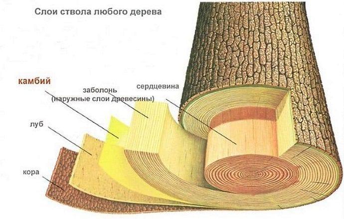 Кора муравьиного дерева с селеном
