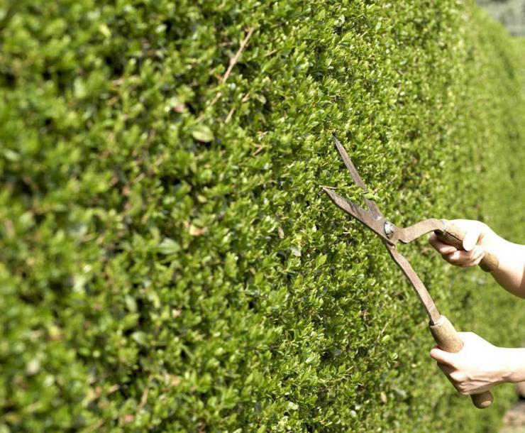 Ответ на популярный вопрос: как и когда проводить формирующую обрезку живой изгороди?