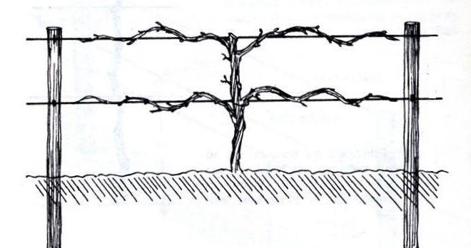 Как подвязать виноград, правильная подвязка в первый год посадки для начинающих