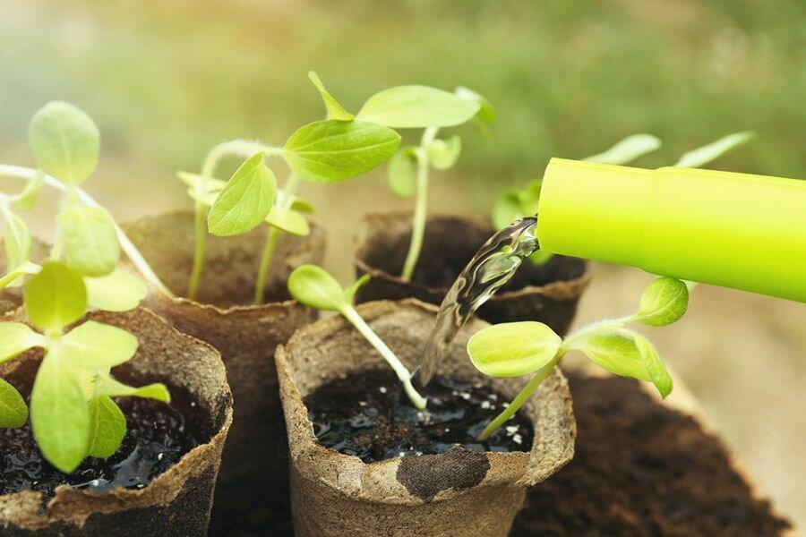 Почему падает и вянет рассада огурцов, как правильно ухаживать и поливать - всё про сады